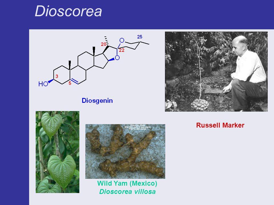 Dioscorea Russell Marker Wild Yam (Mexico) Dioscorea villosa