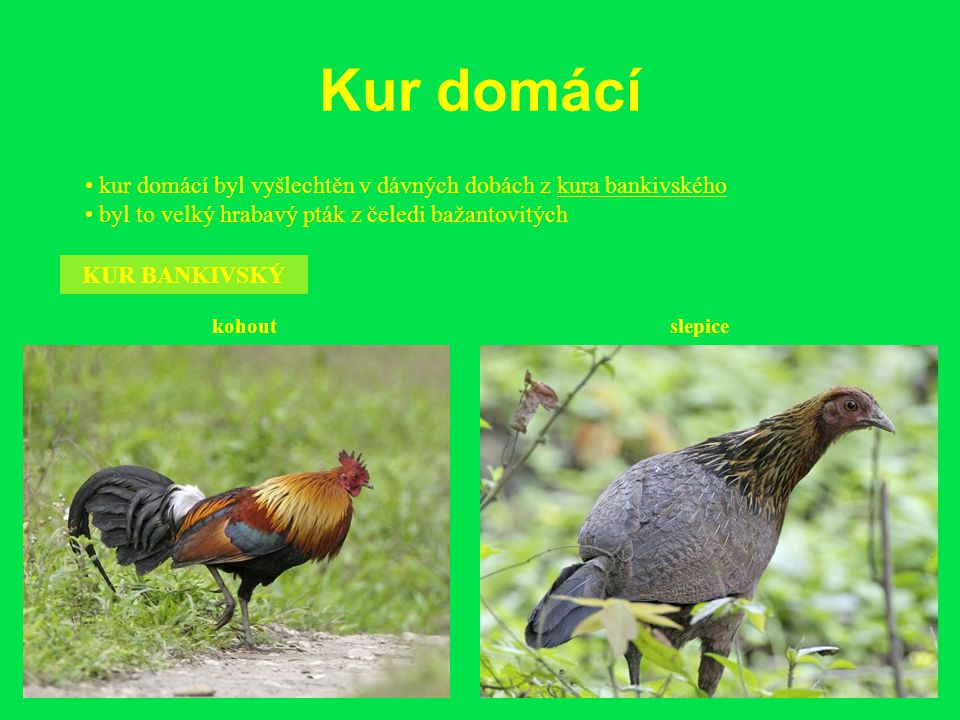 Kur domácí • kur domácí byl vyšlechtěn v dávných dobách z kura bankivského. • byl to velký hrabavý pták z čeledi bažantovitých.