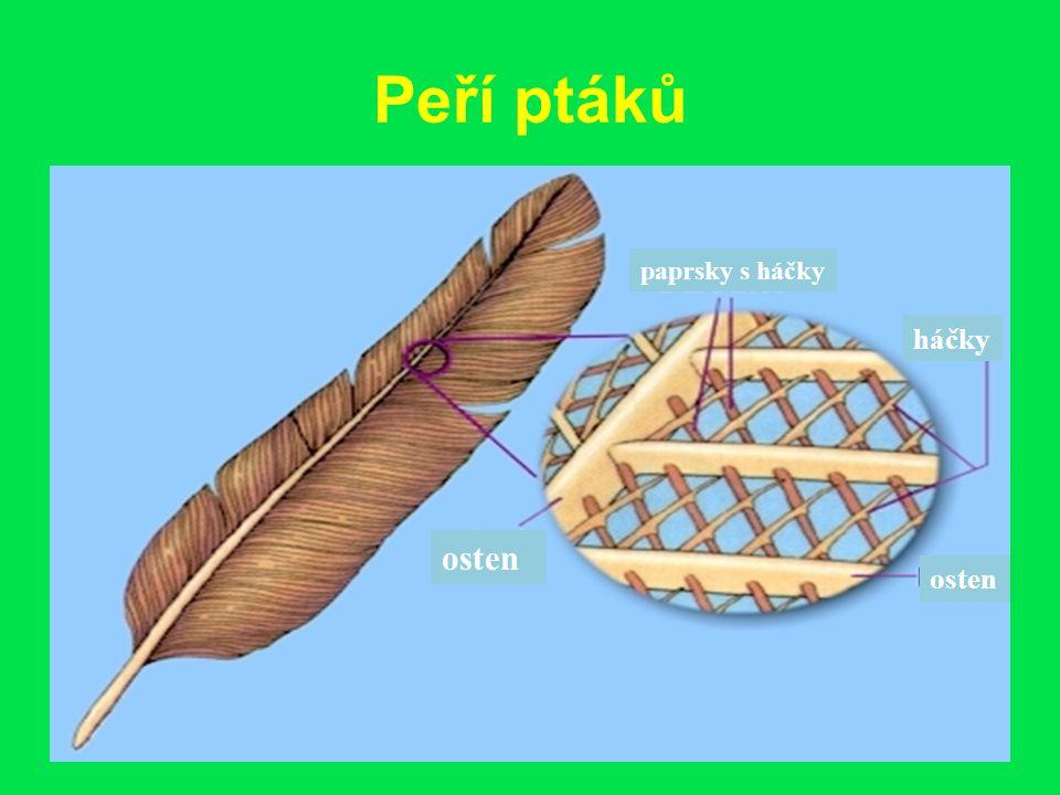 Peří ptáků paprsky s háčky háčky osten osten