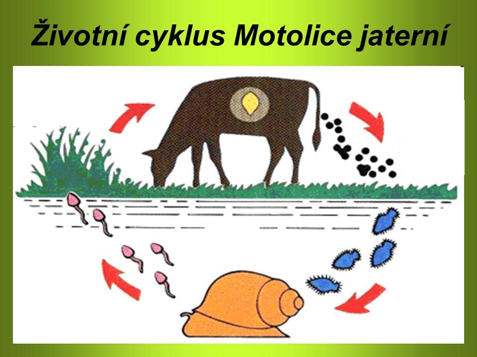 Životní cyklus Motolice jaterní
