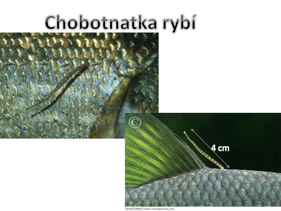 Chobotnatka rybí 4 cm