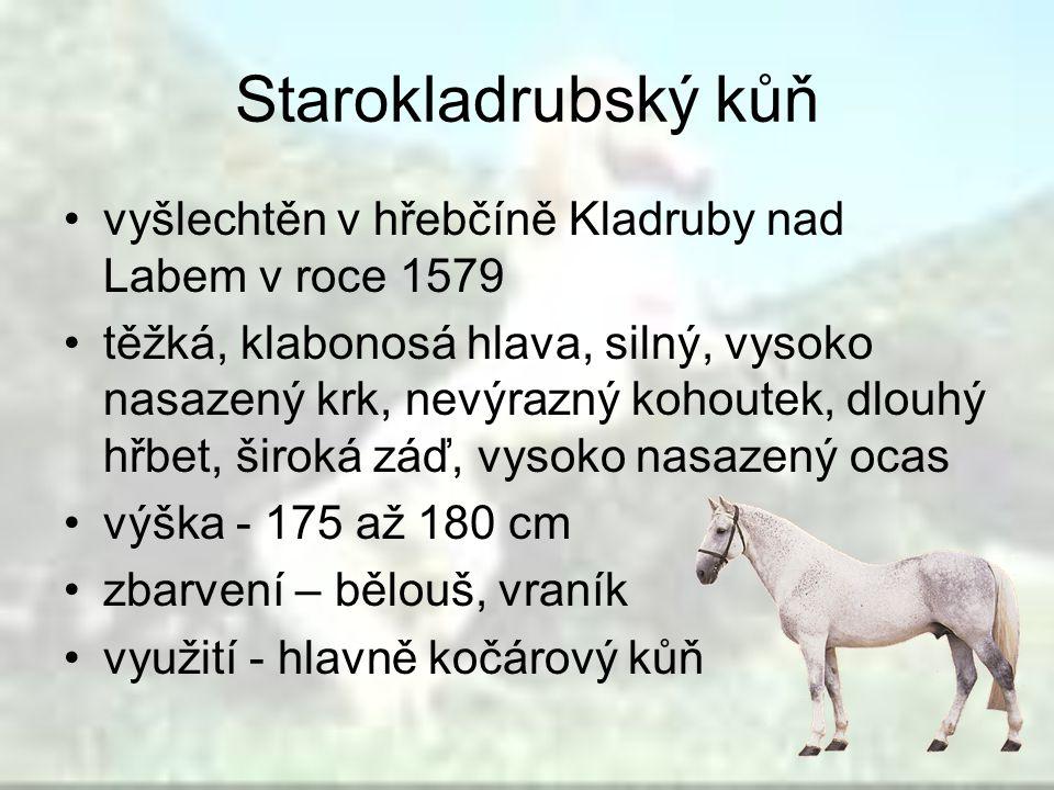 Starokladrubský kůň vyšlechtěn v hřebčíně Kladruby nad Labem v roce 1579.
