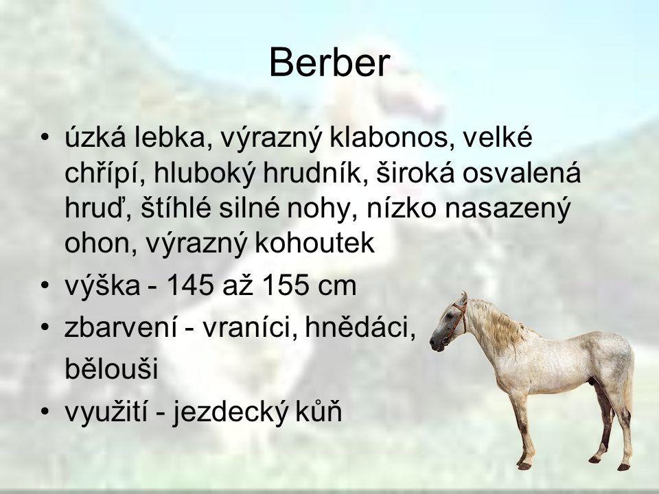 Berber úzká lebka, výrazný klabonos, velké chřípí, hluboký hrudník, široká osvalená hruď, štíhlé silné nohy, nízko nasazený ohon, výrazný kohoutek.