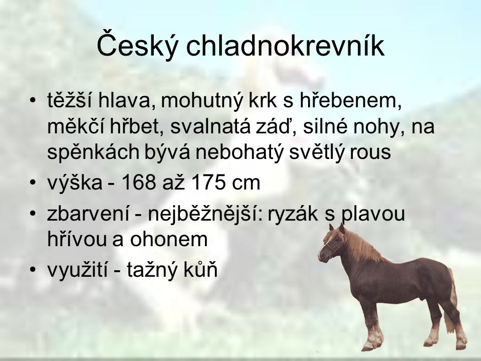Český chladnokrevník těžší hlava, mohutný krk s hřebenem, měkčí hřbet, svalnatá záď, silné nohy, na spěnkách bývá nebohatý světlý rous.