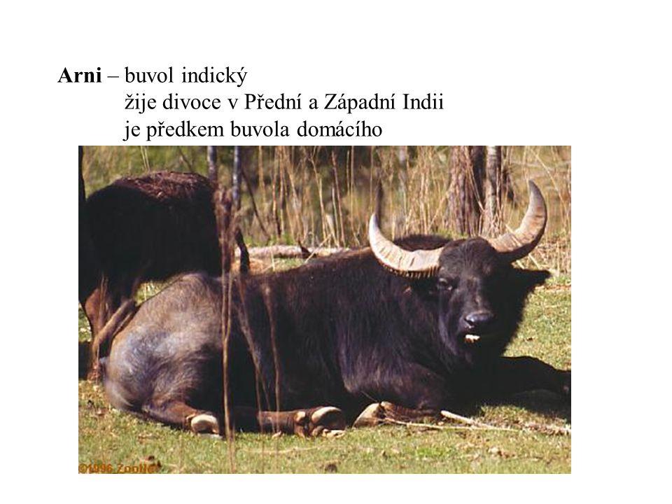 Arni – buvol indický. žije divoce v Přední a Západní Indii