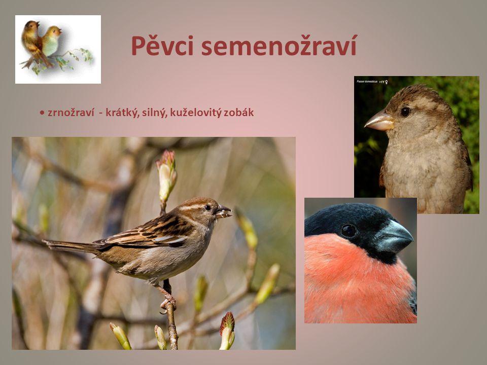 Pěvci semenožraví • zrnožraví - krátký, silný, kuželovitý zobák