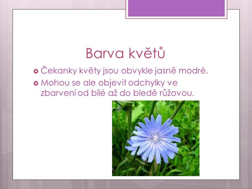 Barva květů Čekanky květy jsou obvykle jasně modré.