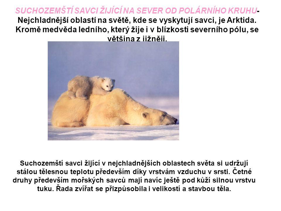 SUCHOZEMŠTÍ SAVCI ŽIJÍCÍ NA SEVER OD POLÁRNÍHO KRUHU- Nejchladnější oblastí na světě, kde se vyskytují savci, je Arktida. Kromě medvěda ledního, který žije i v blízkosti severního pólu, se většina z jižněji.