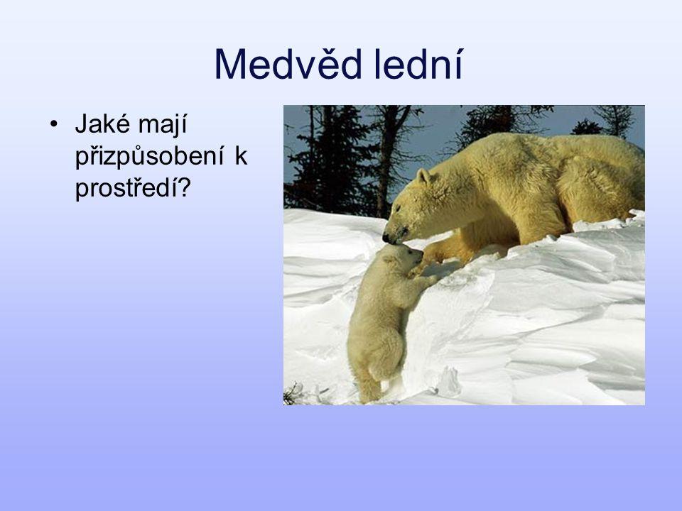 Medvěd lední Jaké mají přizpůsobení k prostředí