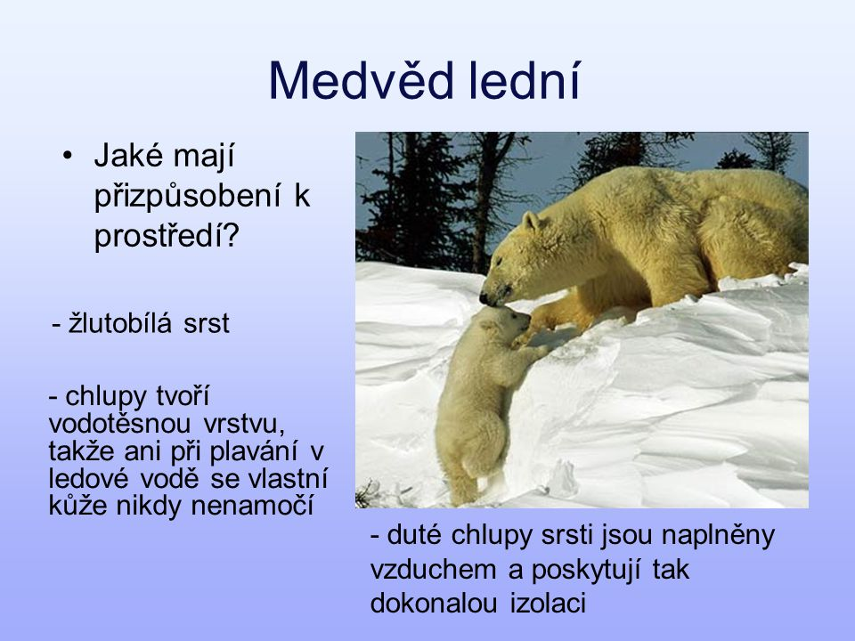 Medvěd lední Jaké mají přizpůsobení k prostředí - žlutobílá srst