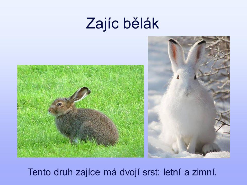 Zajíc bělák Tento druh zajíce má dvojí srst: letní a zimní.