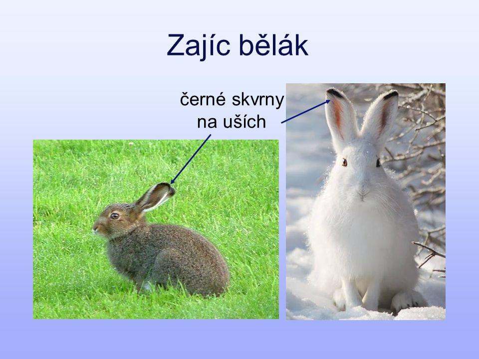 Zajíc bělák černé skvrny na uších