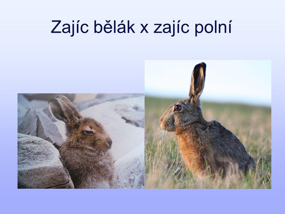 Zajíc bělák x zajíc polní