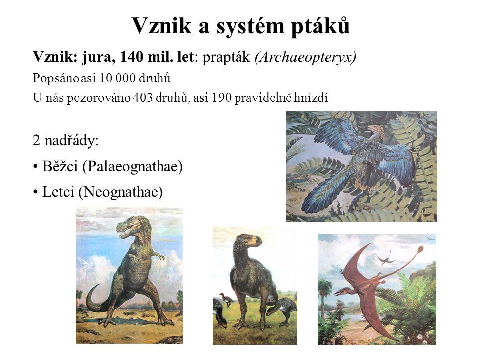 Vznik a systém ptáků Vznik: jura, 140 mil. let: prapták (Archaeopteryx) Popsáno asi 10 000 druhů.