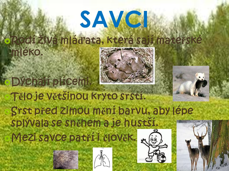 SAVCI Rodí živá mláďata, která sají mateřské mléko. Dýchají plícemi.