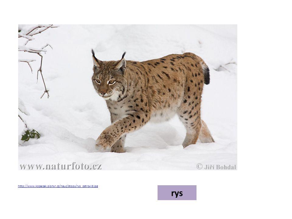 http://www.kopecek.pionyr.cz/nauc/stopy/rys_ostrovid.jpg rys