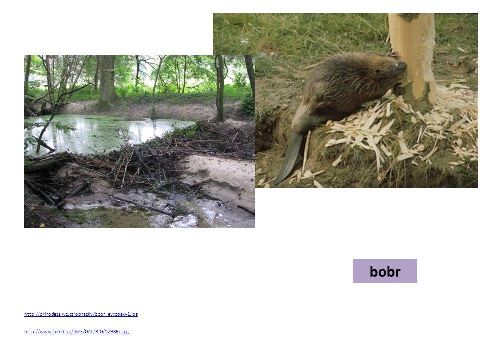 bobr http://prirodazs.wz.cz/obrazky/bobr_evropsky1.jpg