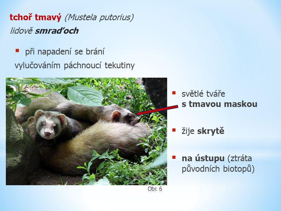 tchoř tmavý (Mustela putorius) lidově smraďoch