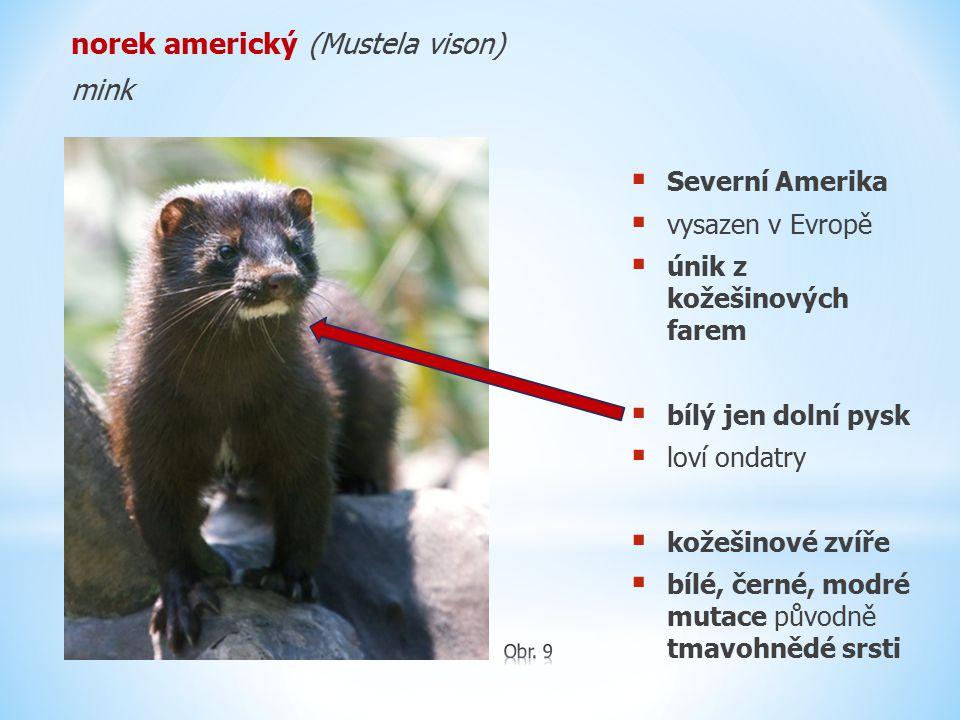 norek americký (Mustela vison) mink