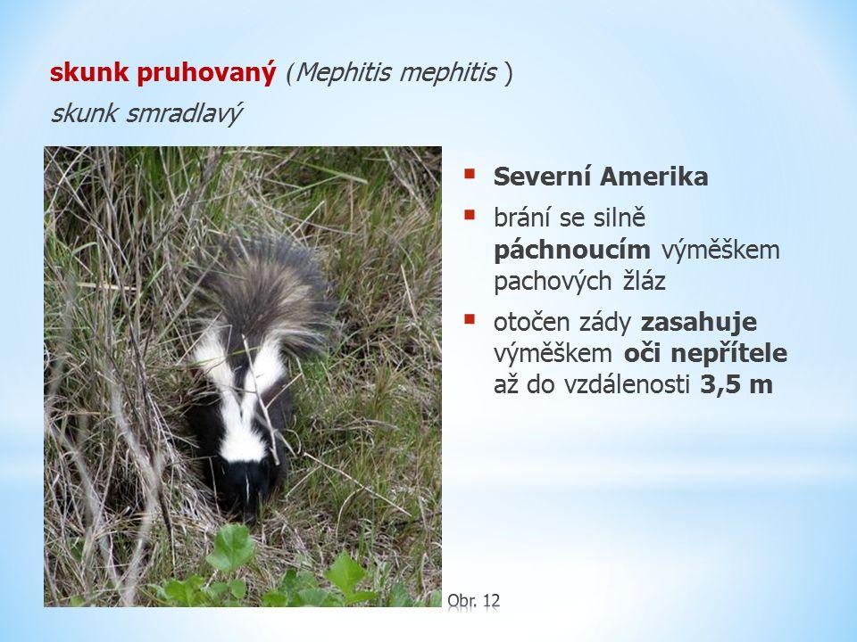 skunk pruhovaný (Mephitis mephitis ) skunk smradlavý
