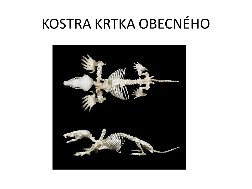 KOSTRA KRTKA OBECNÉHO
