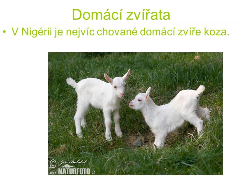 Domácí zvířata V Nigérii je nejvíc chované domácí zvíře koza.
