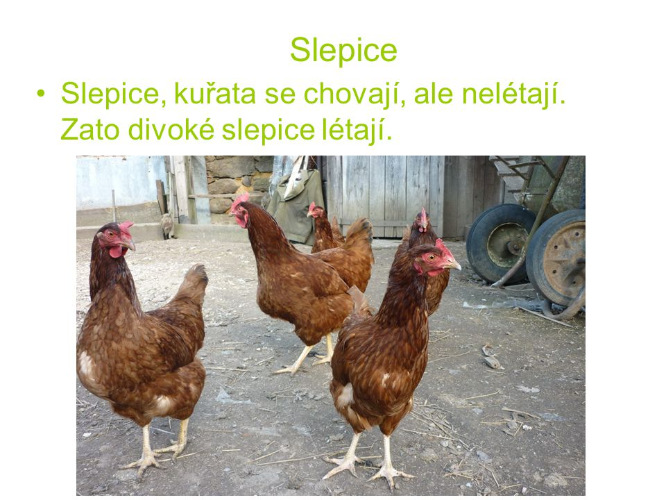 Slepice Slepice, kuřata se chovají, ale nelétají. Zato divoké slepice létají.
