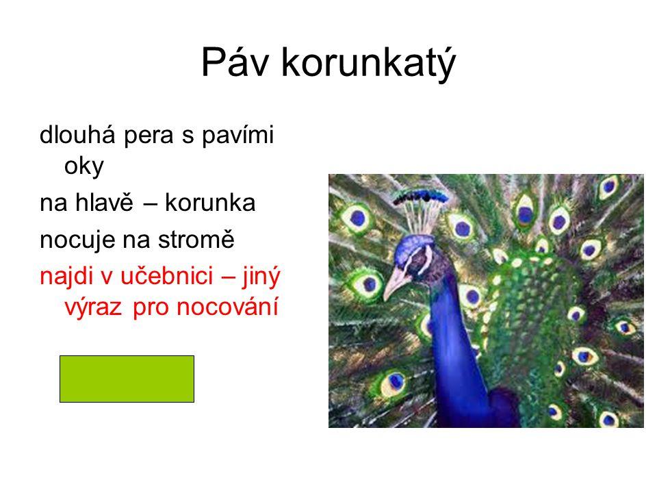Páv korunkatý dlouhá pera s pavími oky na hlavě – korunka
