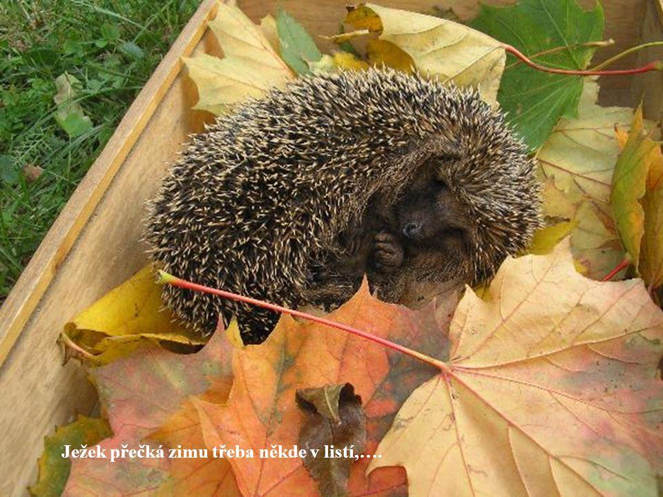 Ježek přečká zimu třeba někde v listí,….