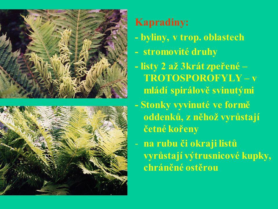 Kapradiny: - byliny, v trop. oblastech - stromovité druhy