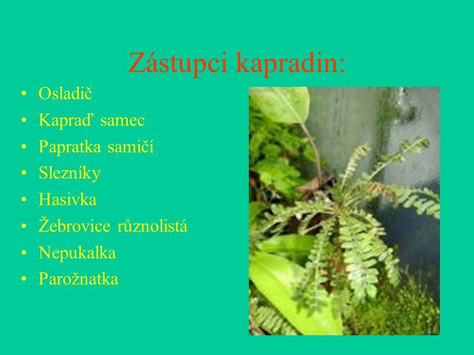 Zástupci kapradin: Osladič Kapraď samec Papratka samičí Slezníky