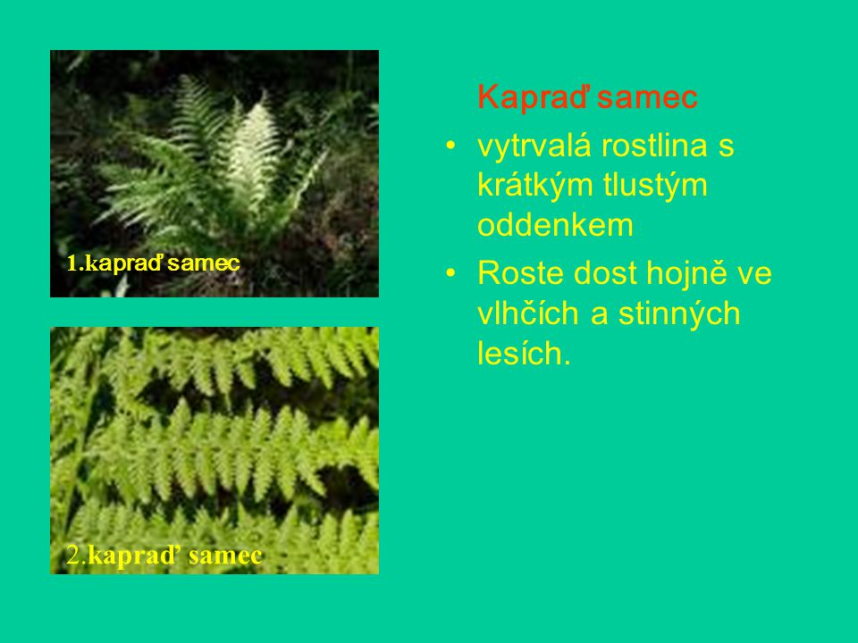 vytrvalá rostlina s krátkým tlustým oddenkem