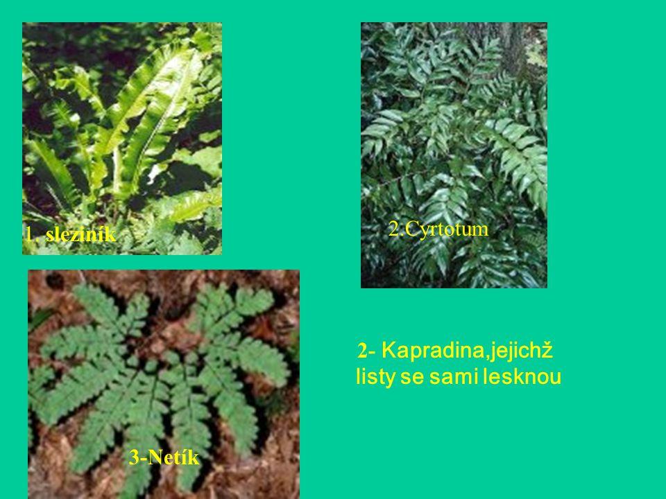 2- Kapradina,jejichž listy se sami lesknou