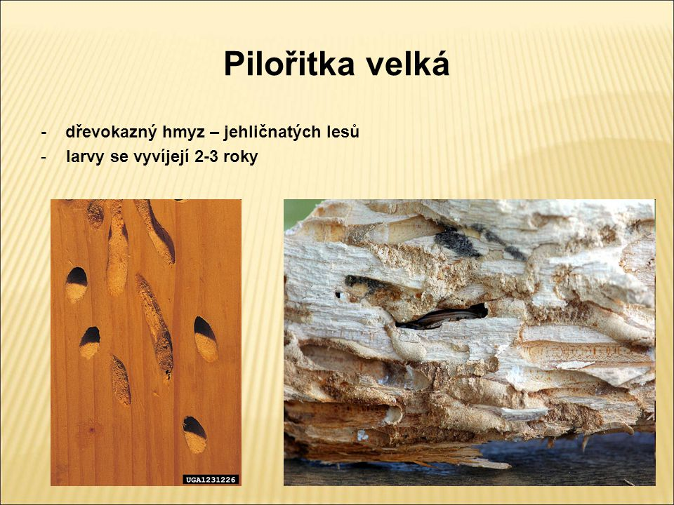 Pilořitka velká - dřevokazný hmyz – jehličnatých lesů