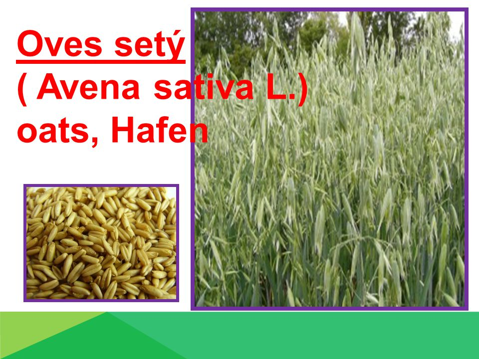 Oves setý ( Avena sativa L.) oats, Hafen