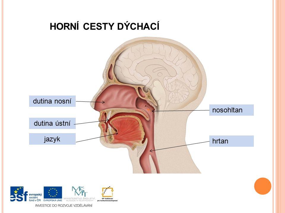 HORNÍ CESTY DÝCHACÍ dutina nosní nosohltan dutina ústní jazyk hrtan