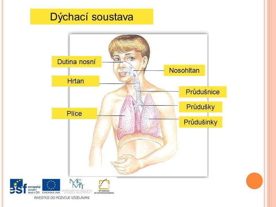 Dýchací soustava Dutina nosní Nosohltan Hrtan Průdušnice Průdušky