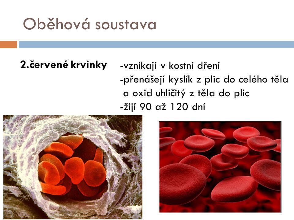 Oběhová soustava 2.červené krvinky -vznikají v kostní dřeni