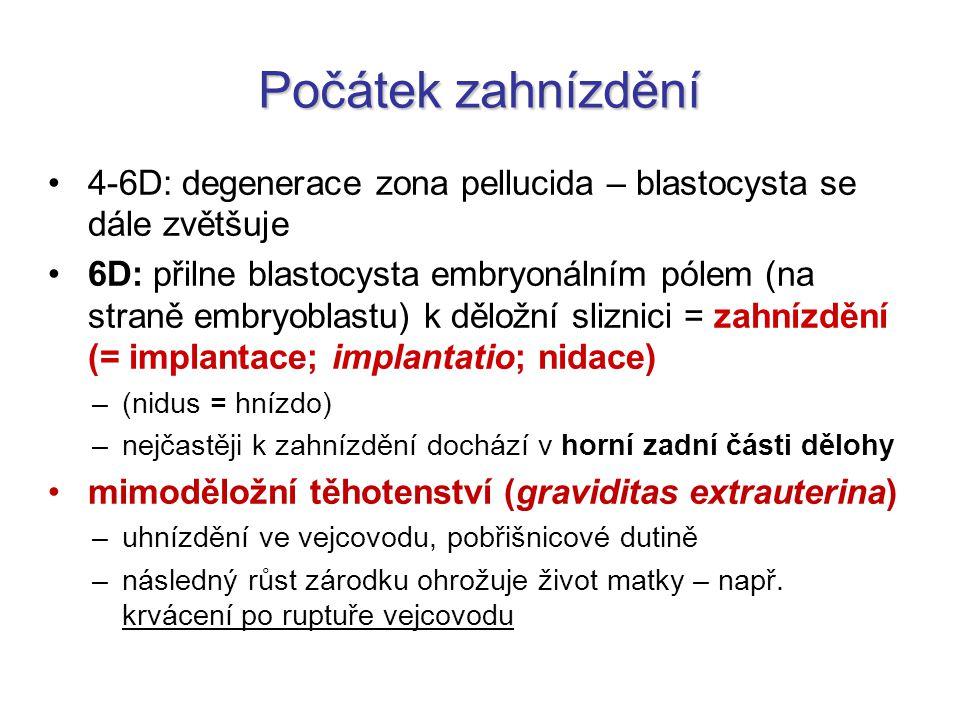 Počátek zahnízdění 4-6D: degenerace zona pellucida – blastocysta se dále zvětšuje.