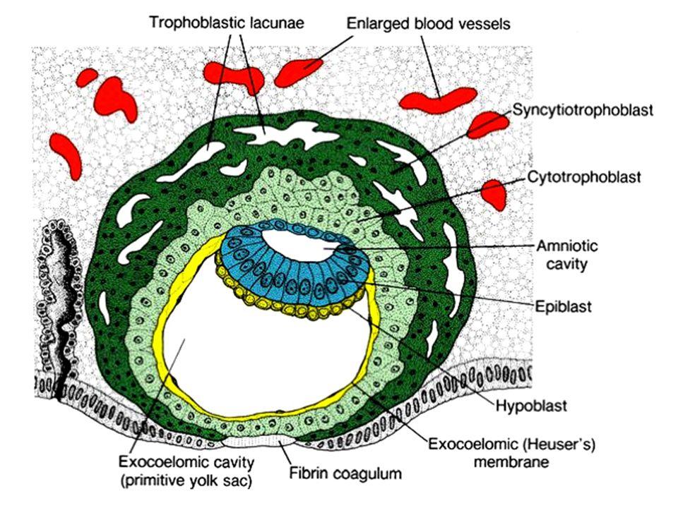 Vznik bilaminárního blastodermu