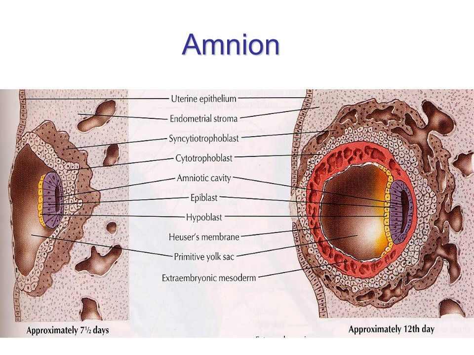 Amnion