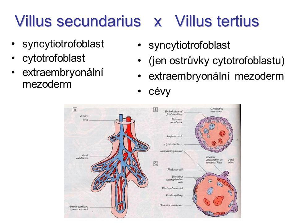 Villus secundarius x Villus tertius