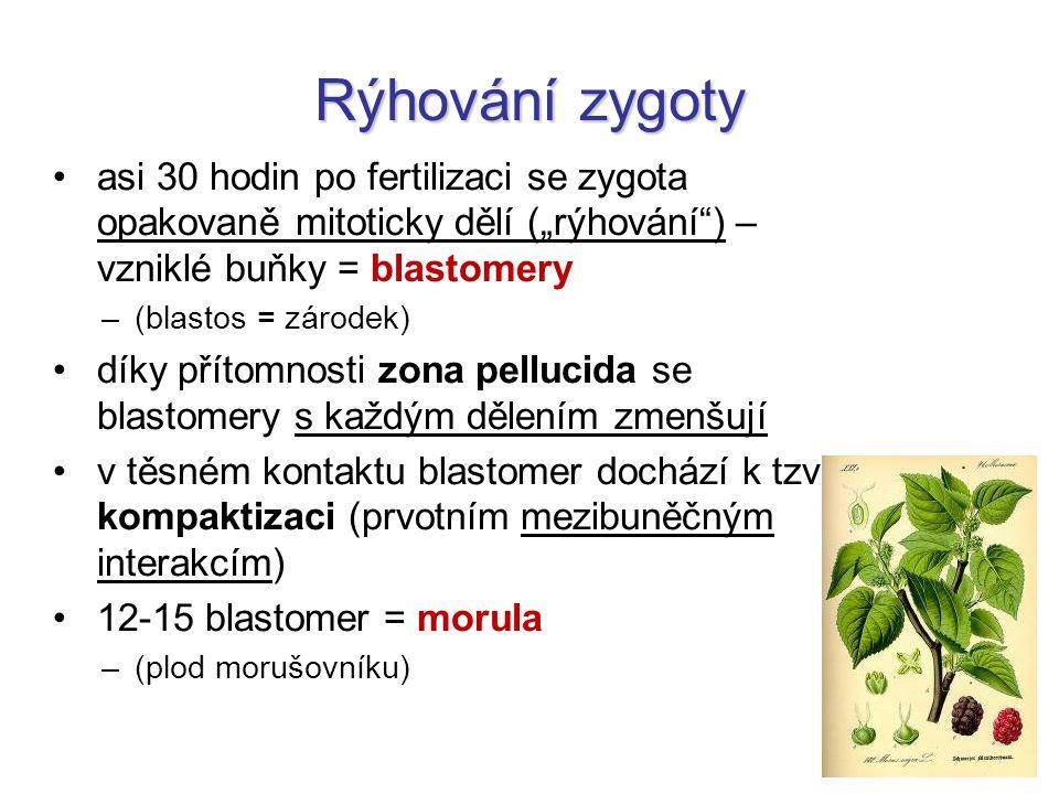 """Rýhování zygoty asi 30 hodin po fertilizaci se zygota opakovaně mitoticky dělí (""""rýhování ) – vzniklé buňky = blastomery."""