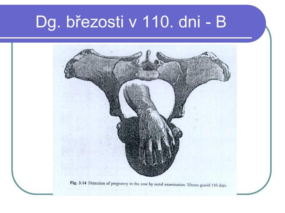 Dg. březosti v 110. dni - B