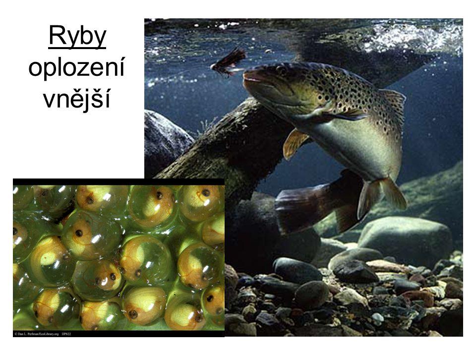 Ryby oplození vnější