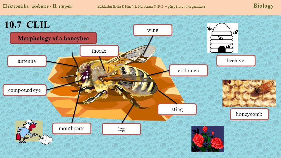 Morphology of a honeybee