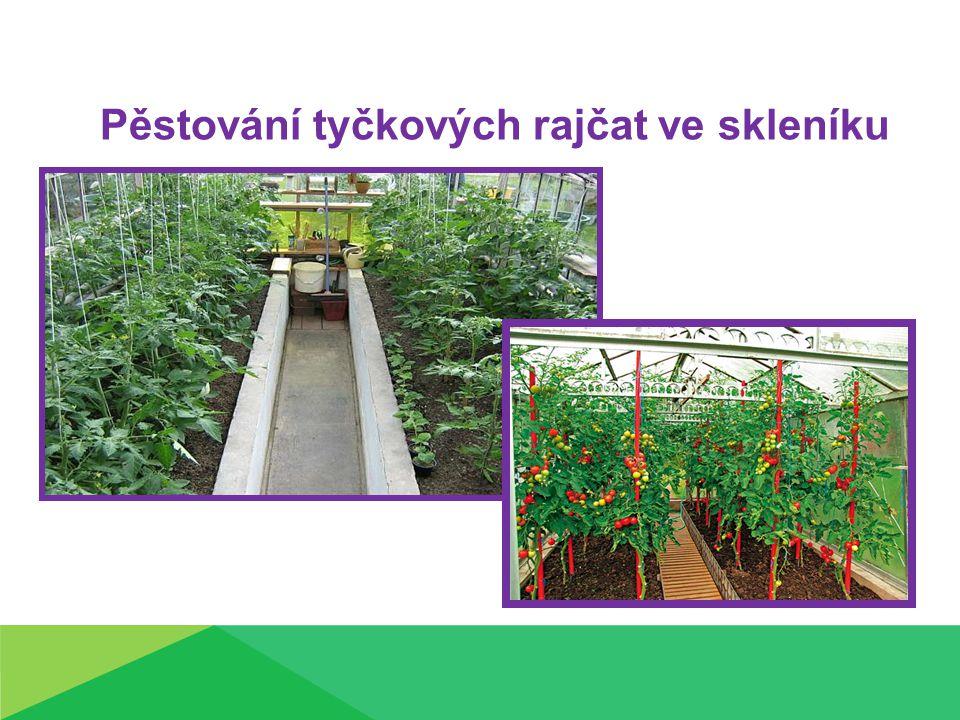 Pěstování tyčkových rajčat ve skleníku