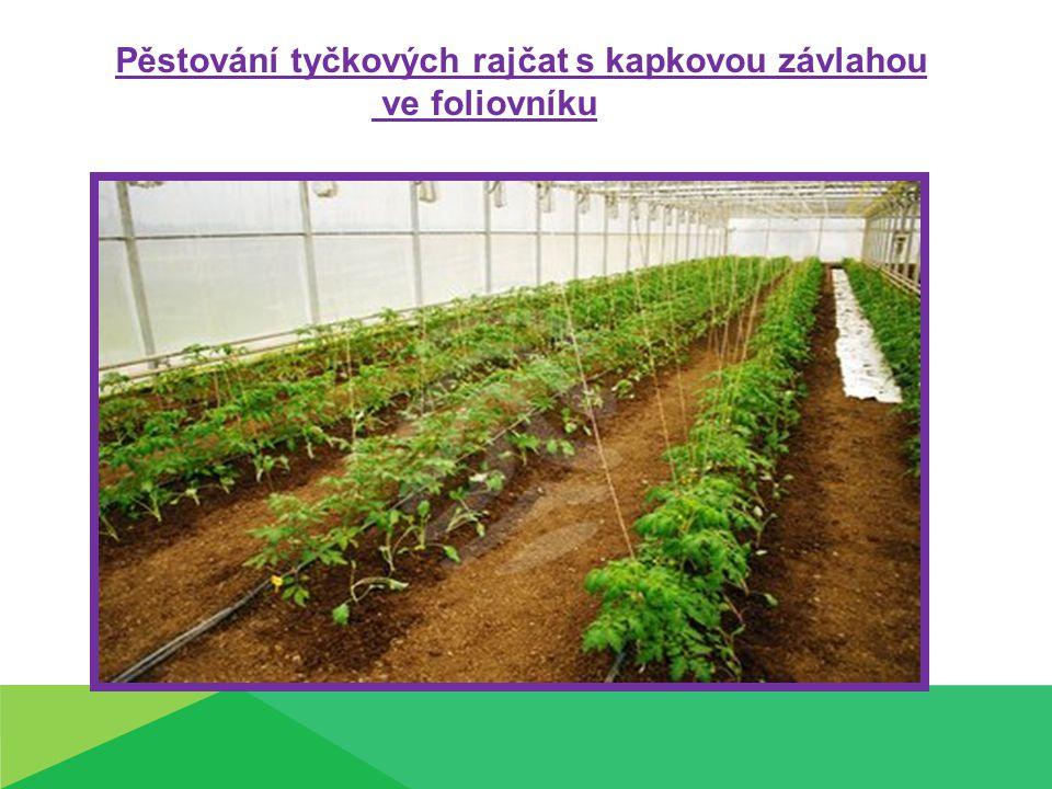 Pěstování tyčkových rajčat s kapkovou závlahou