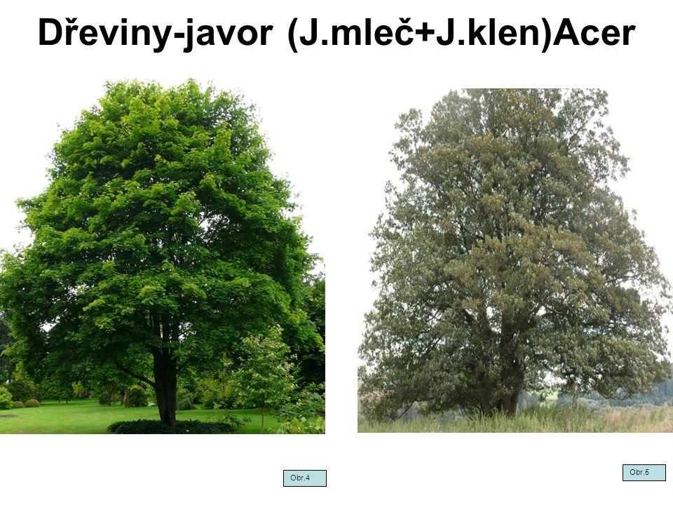 Dřeviny-javor (J.mleč+J.klen)Acer
