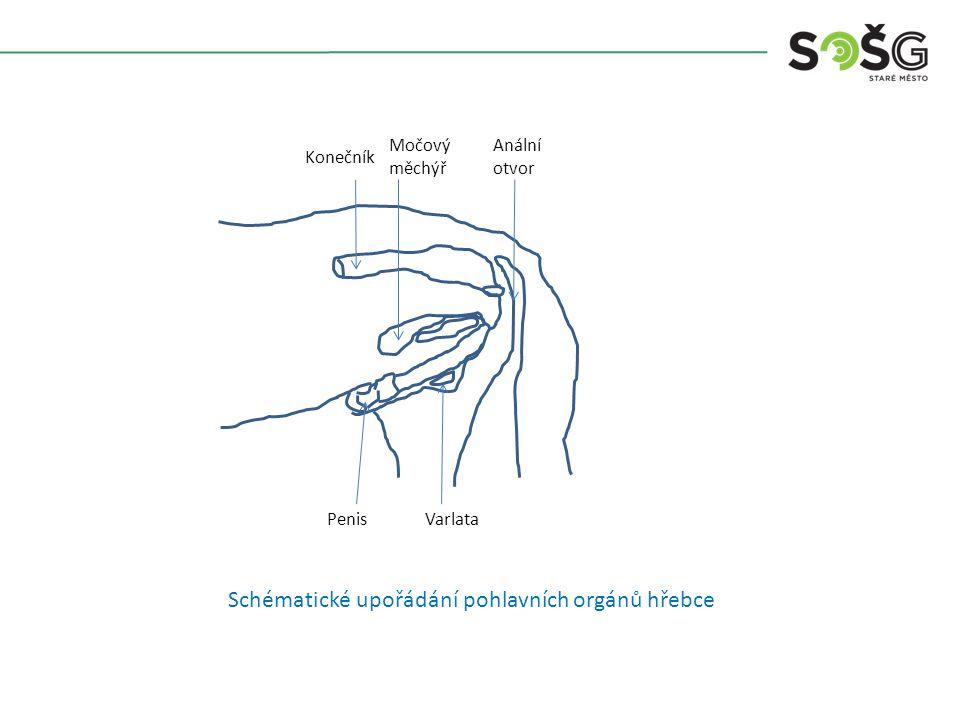 Schématické upořádání pohlavních orgánů hřebce